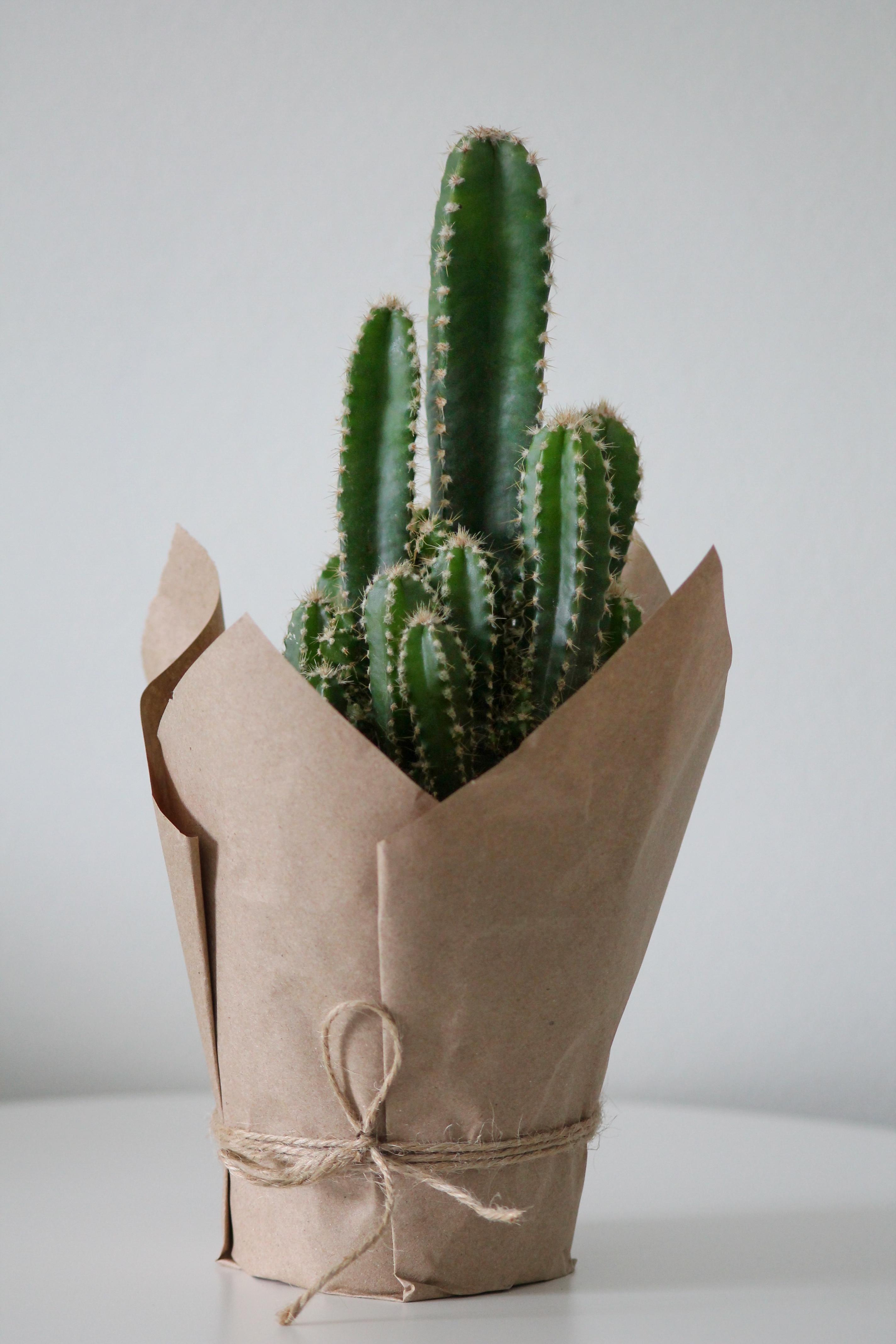 Cereus peruvianus florida Office Plants