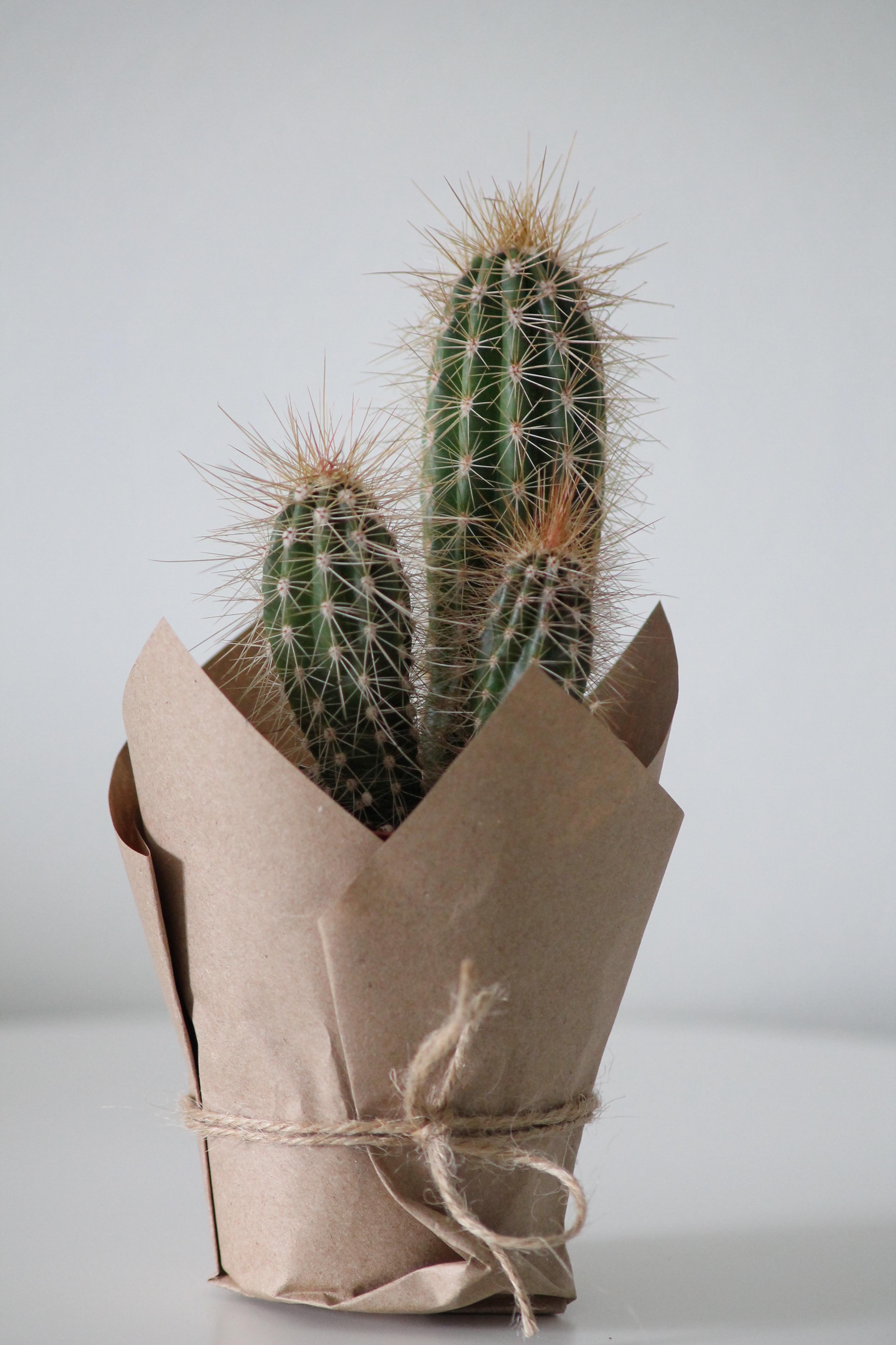 Polaskia Chichipe Office Plants