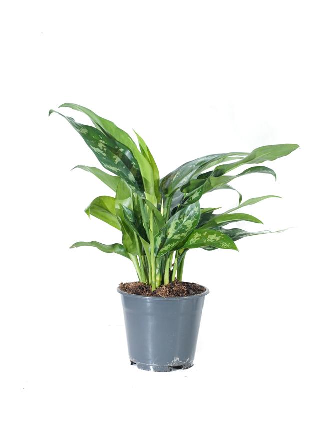 Aglaonema Maria Indoor Plants