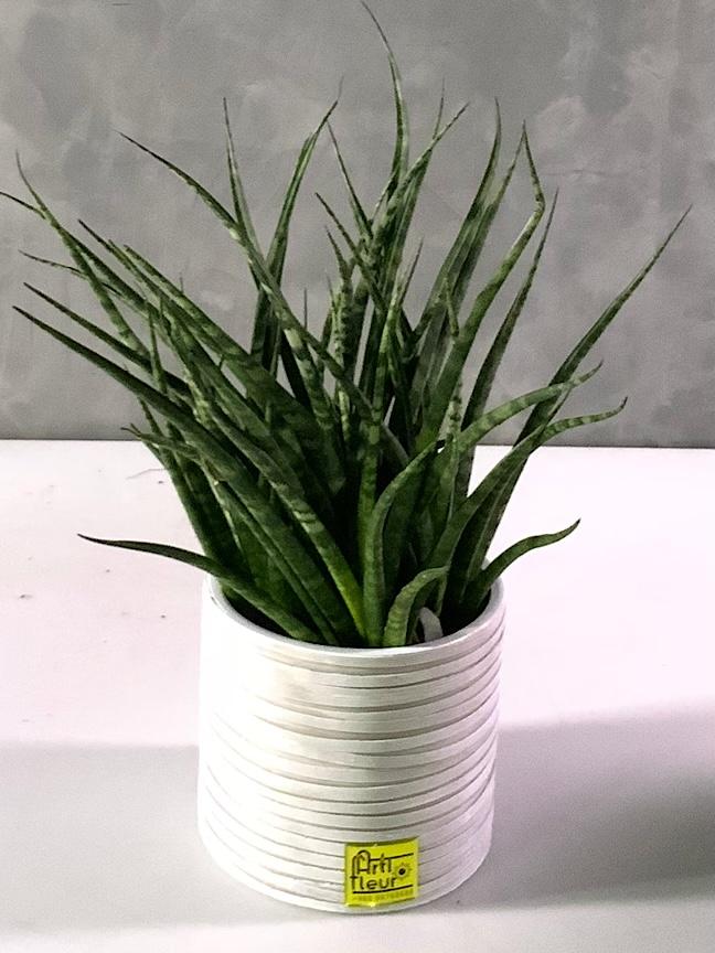 نبات الثعبان 'التشكيلة الفخمة'