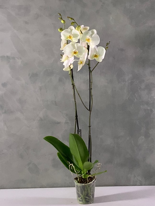 Butterfly Orchid Xxl 'Indoor Plants'