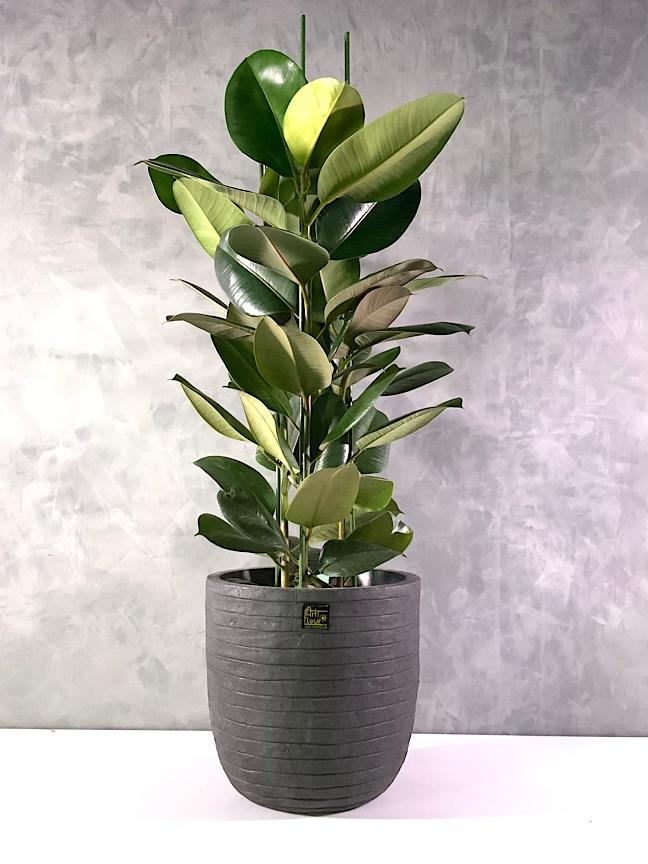 Ficus Robusta Premium Collection