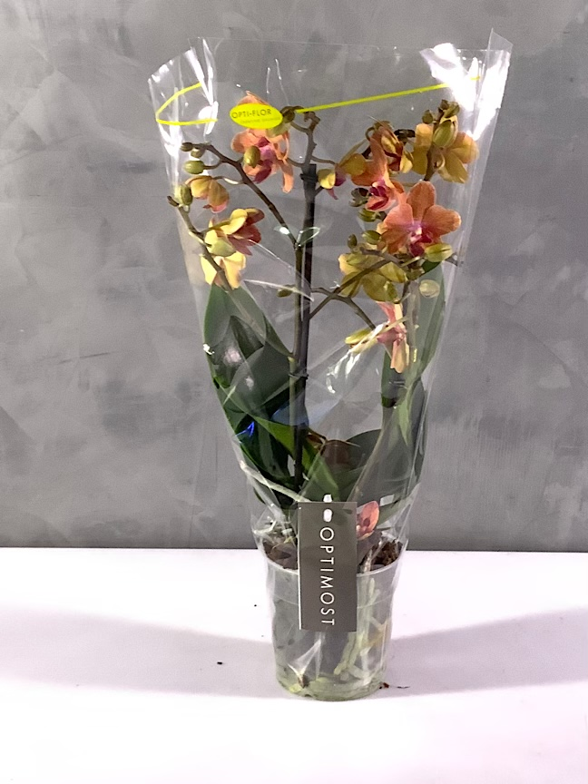 Multiflora Orchids - Peach 'Indoor Plants'