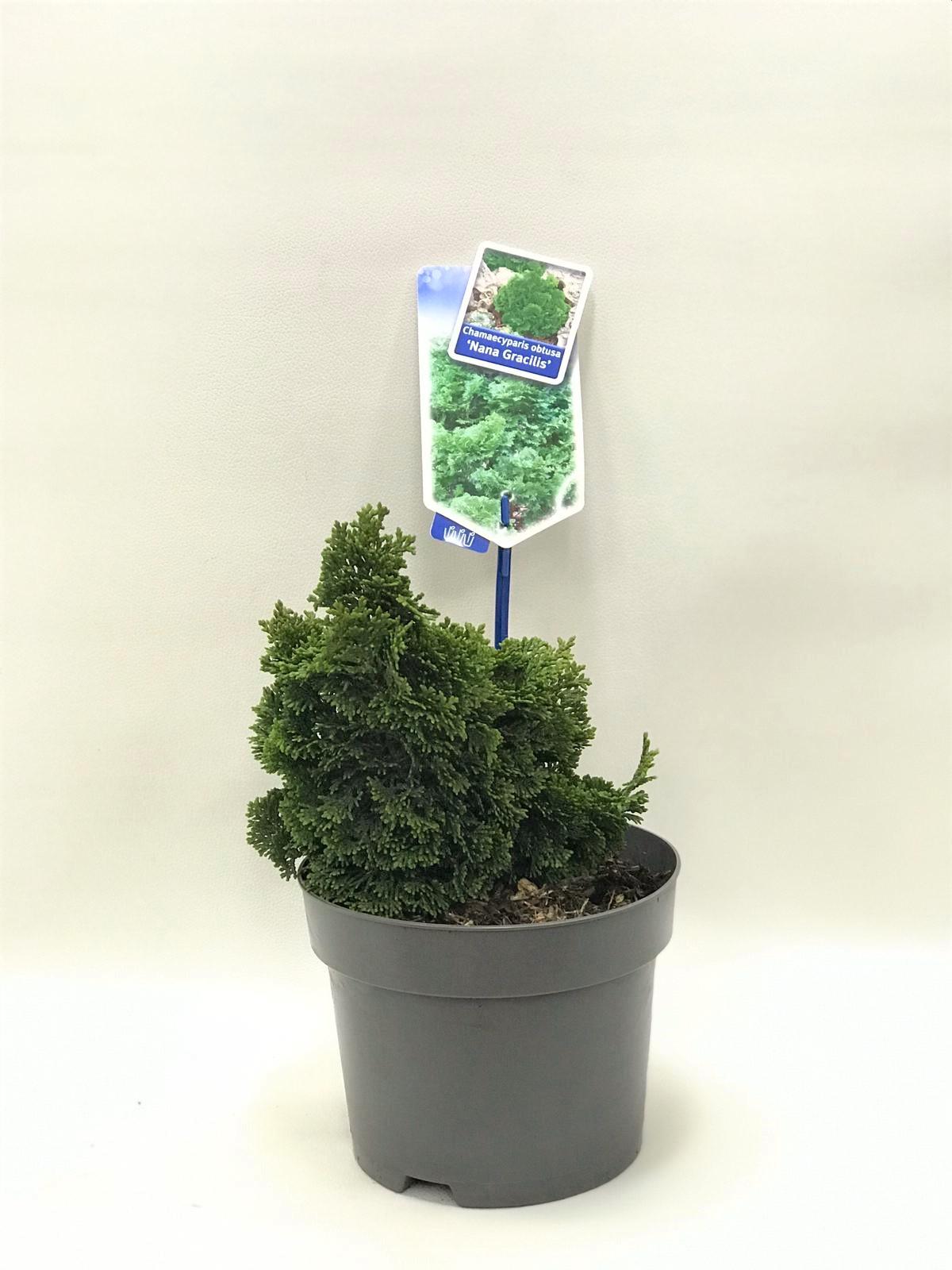 Chamaecyparis obtusa Indoor Plants