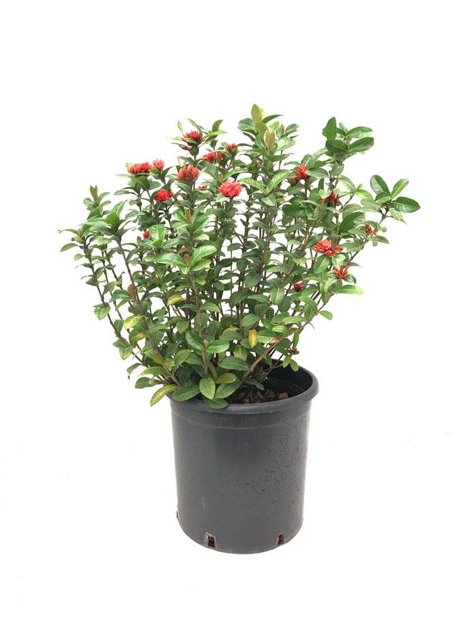 Ixoreae Outdoor Plants