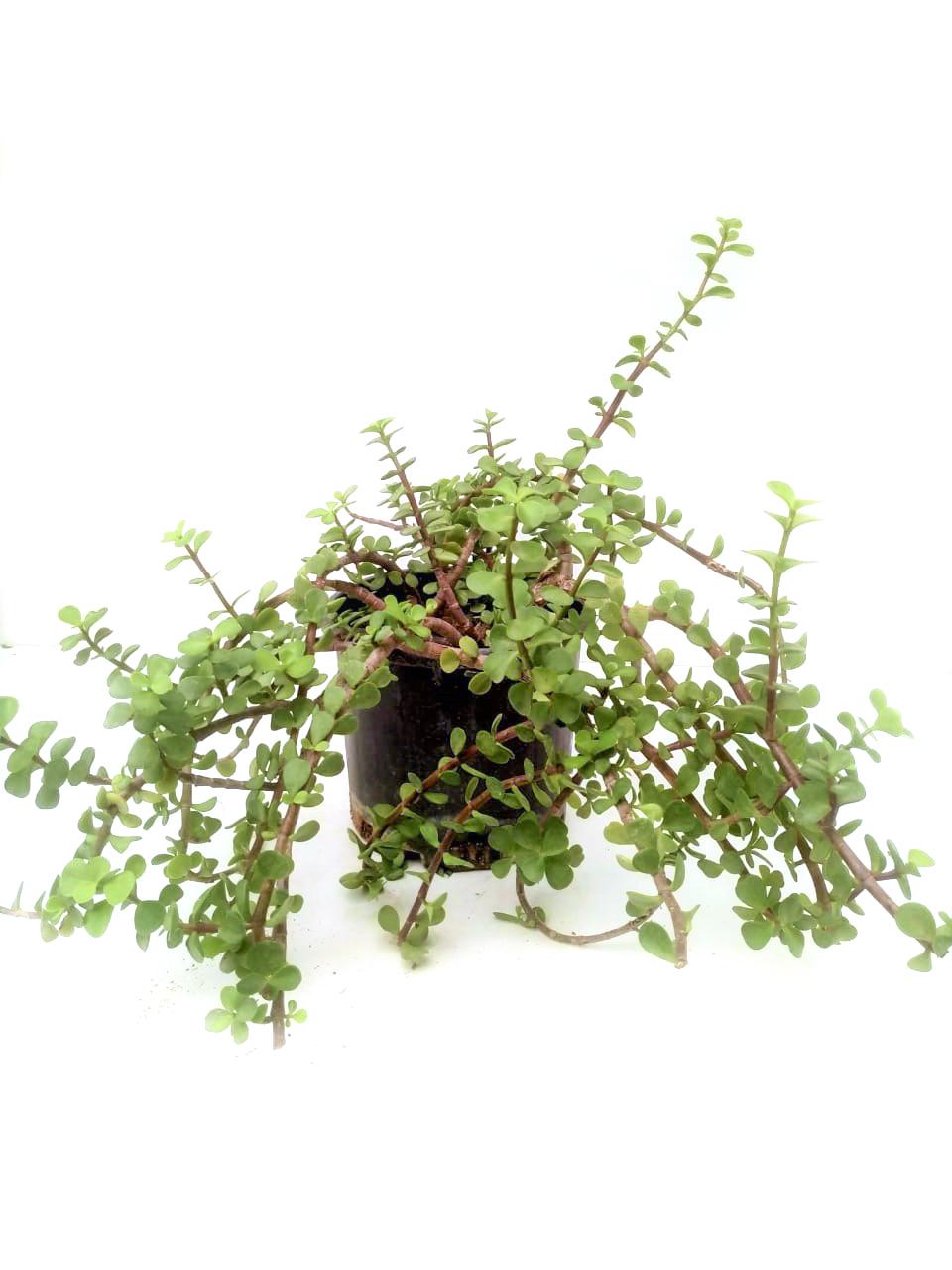 Portulacaria Afra Outdoor Plants
