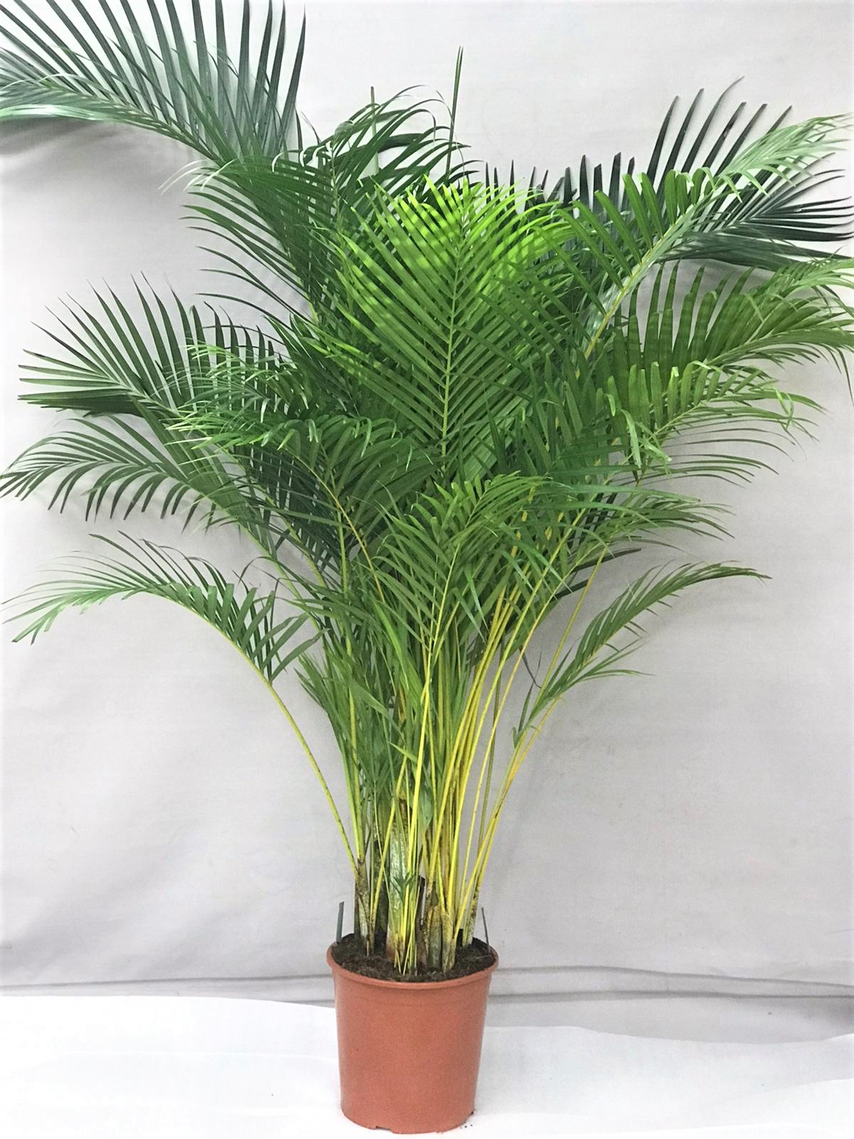 dypsis 200 Indoor Plants
