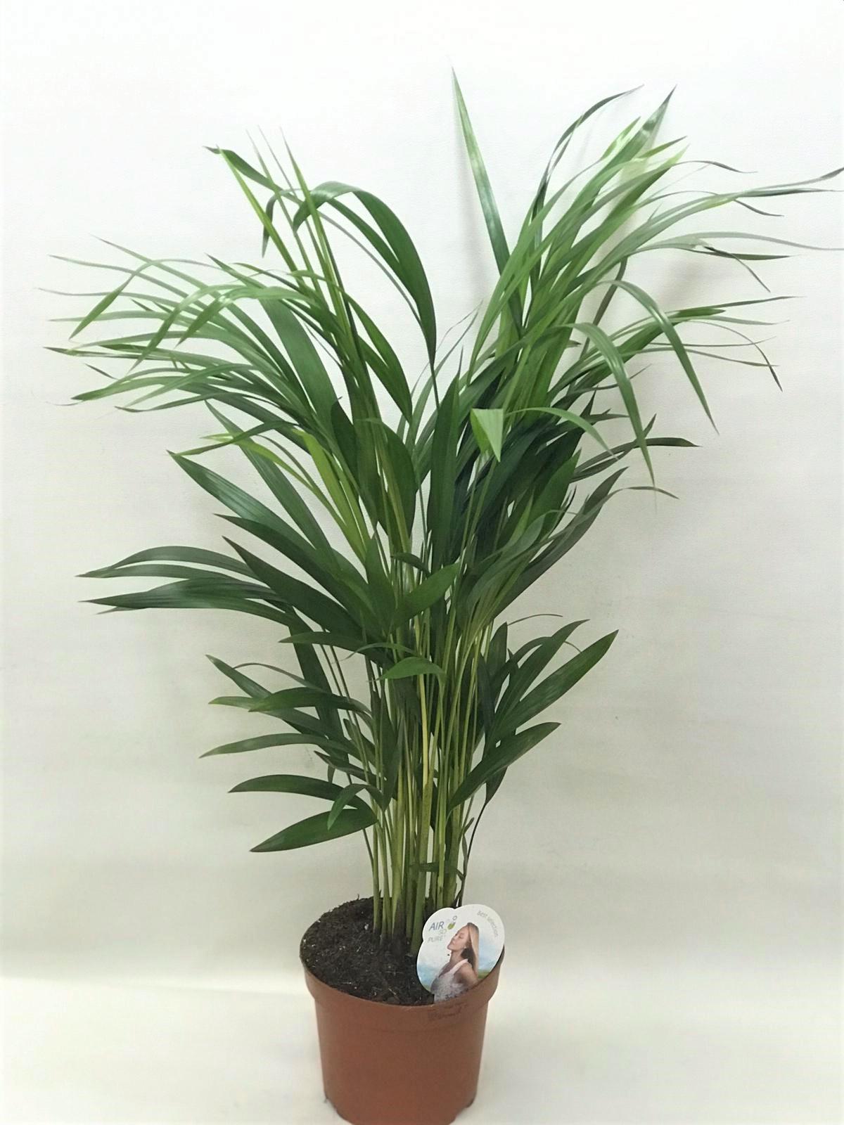 dypsis 60 Indoor Plants