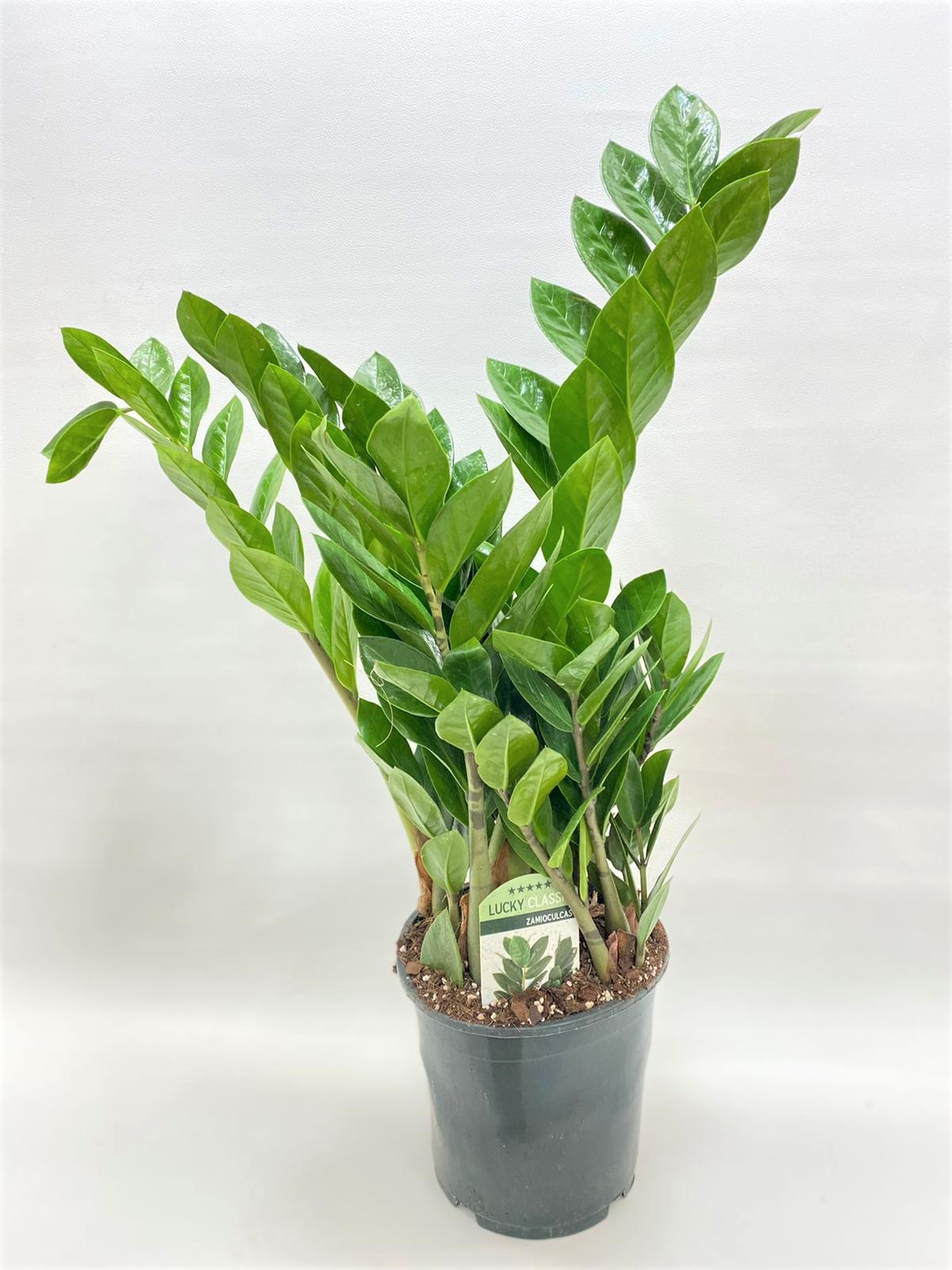 Zamioculcas Zamiifolia 65 Indoor Plants