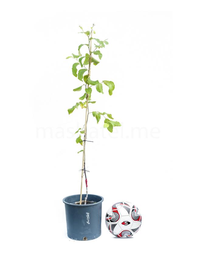 سدر أمرود مطعوم 'نباتات خارجية'
