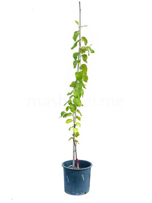 سدر جوزي مطعوم 'نباتات خارجية'