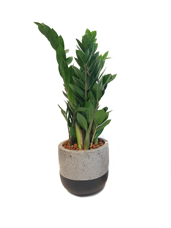 zamioculcas zamiifolia Premium Collection