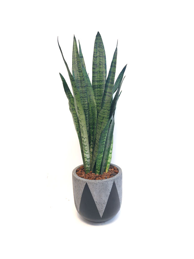 sanseveria trifasciata Premium Collection