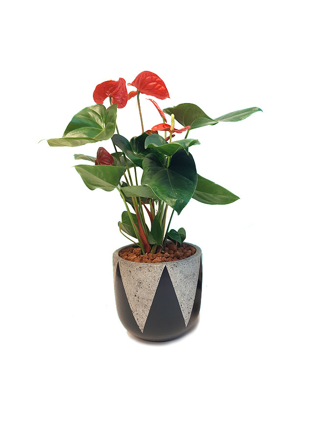 Anthurium Red Premium Collection