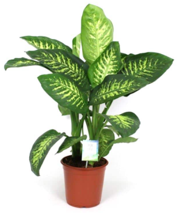 Dieffenbachia Bushy  Indoor Plants