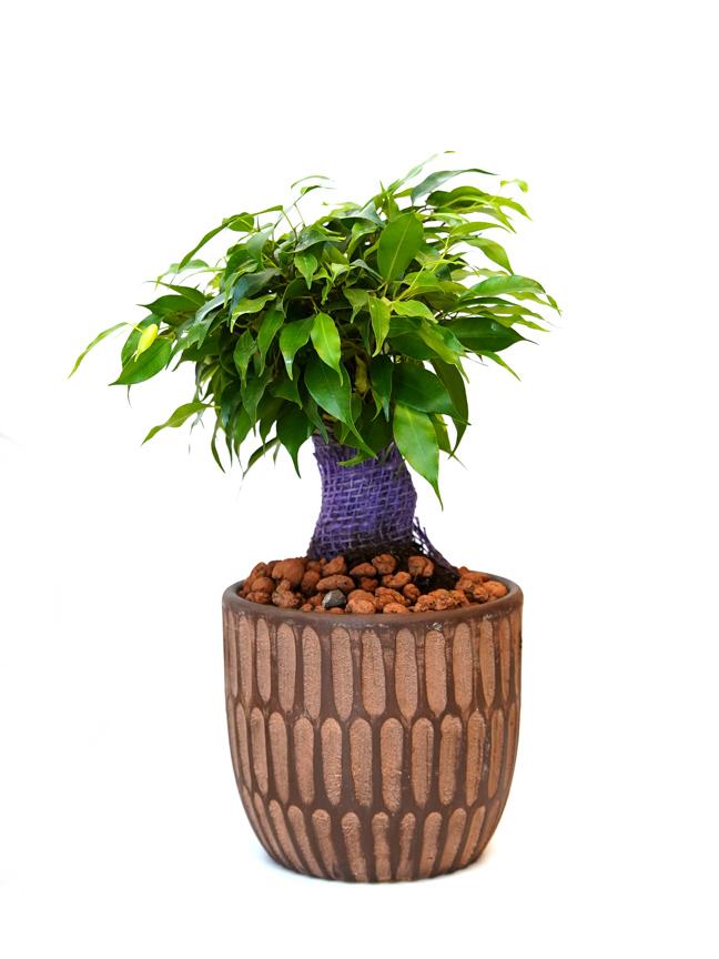 Ficus Natasja Office Plants
