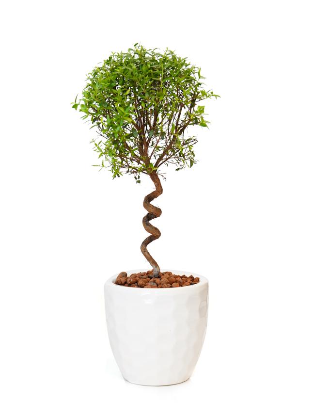 Myrtus Communis Office Plants