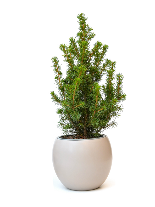 Picea Christmas plant Small Premium Collection