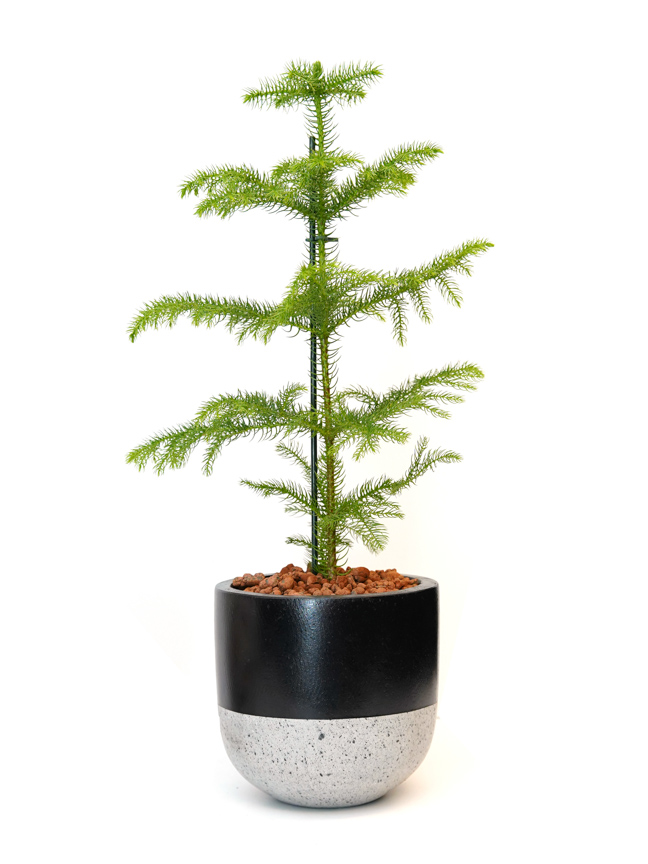 Araucaria Premium Collection