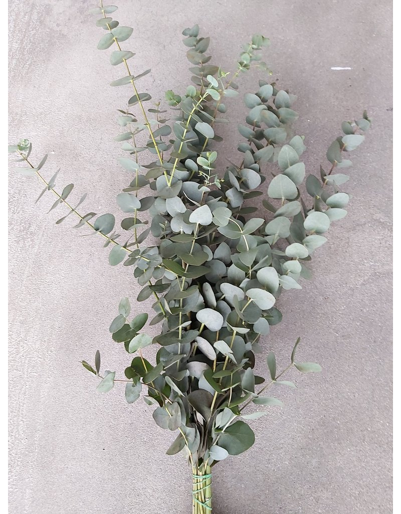 Eucalyptus Green 'Wholesale Flowers'