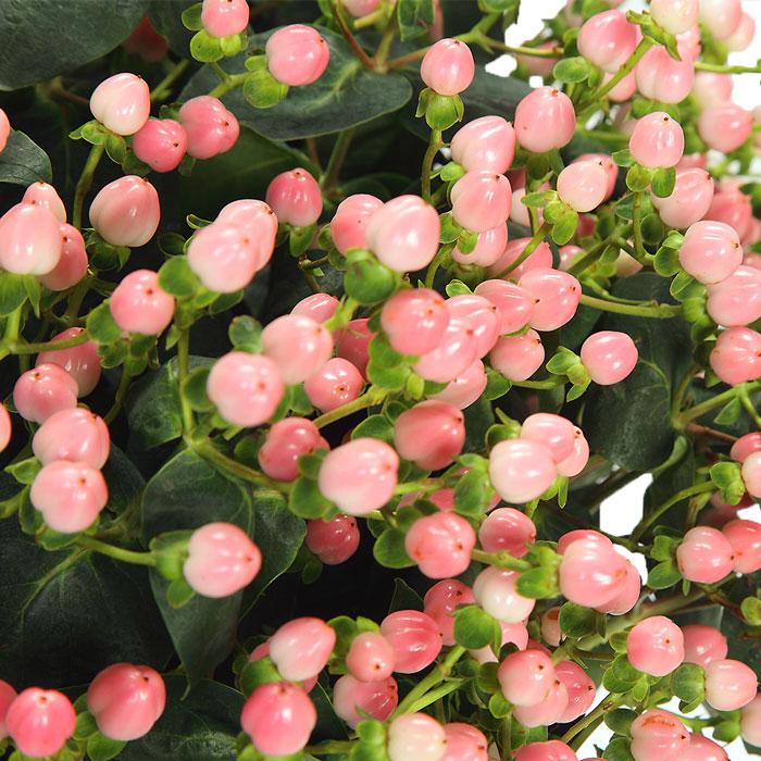 زهرة العرن- هايبركوم (وردي)  الزهور بالجملة