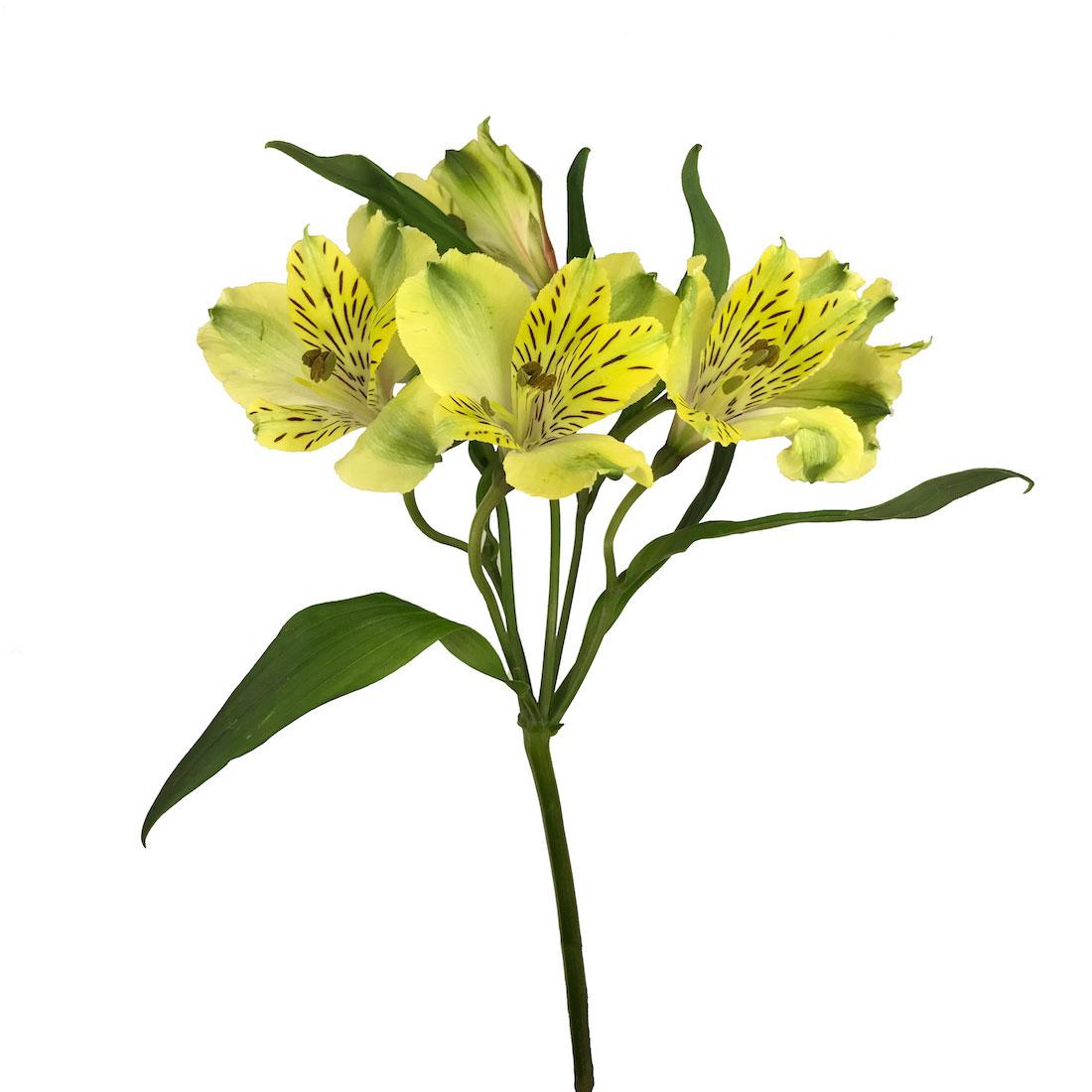 Alstroemeria Yellow Wholesale Flowers