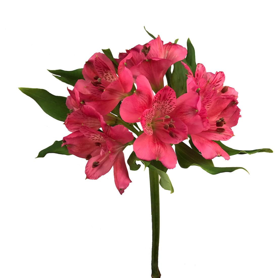 Alstroemeria Dark Pink Wholesale Flowers