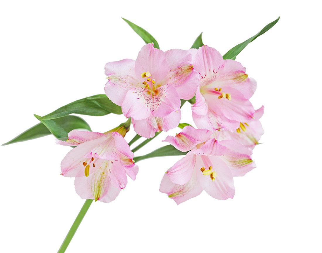 ألستروميريا - وردي ' الزهور بالجملة'