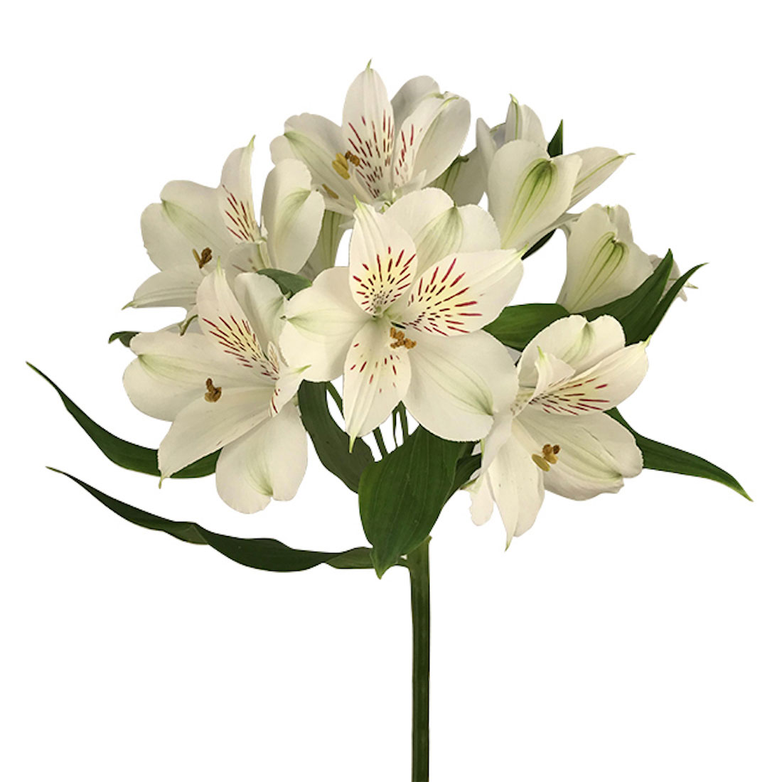 Alstroemeria White Wholesale Flowers