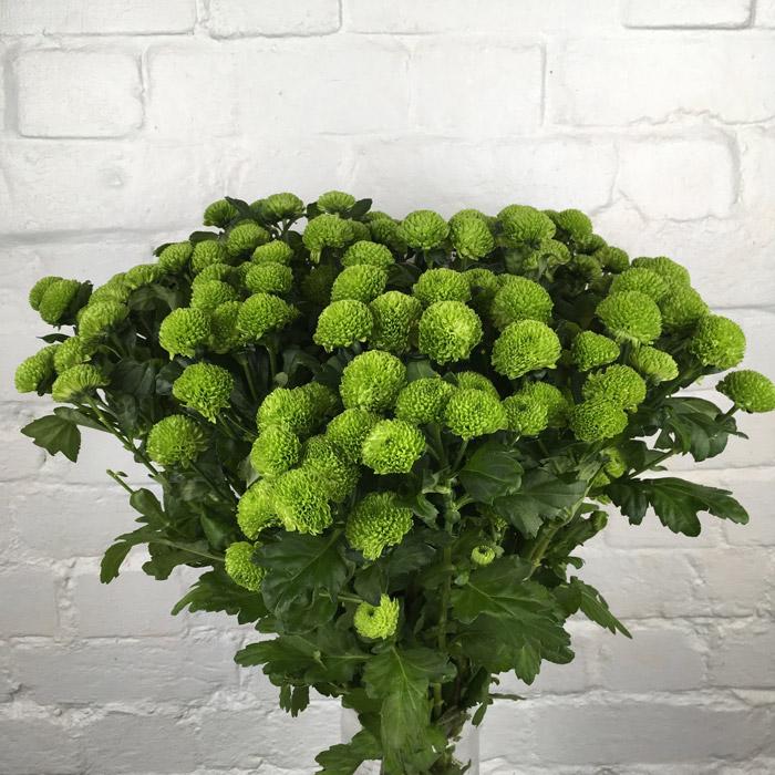 أقحوان أخضر  الزهور بالجملة