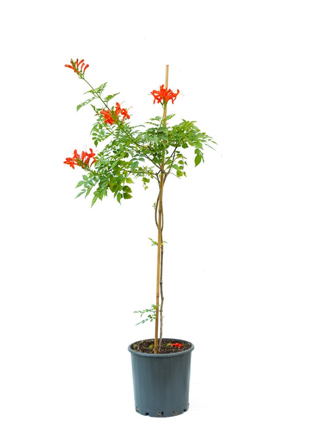 تيكوما 'نباتات خارجية'