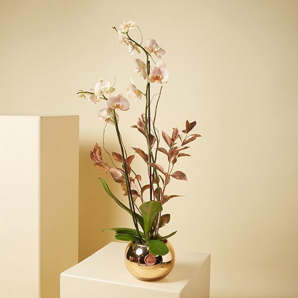Golden Mirror Orchids 'Indoor Plants'