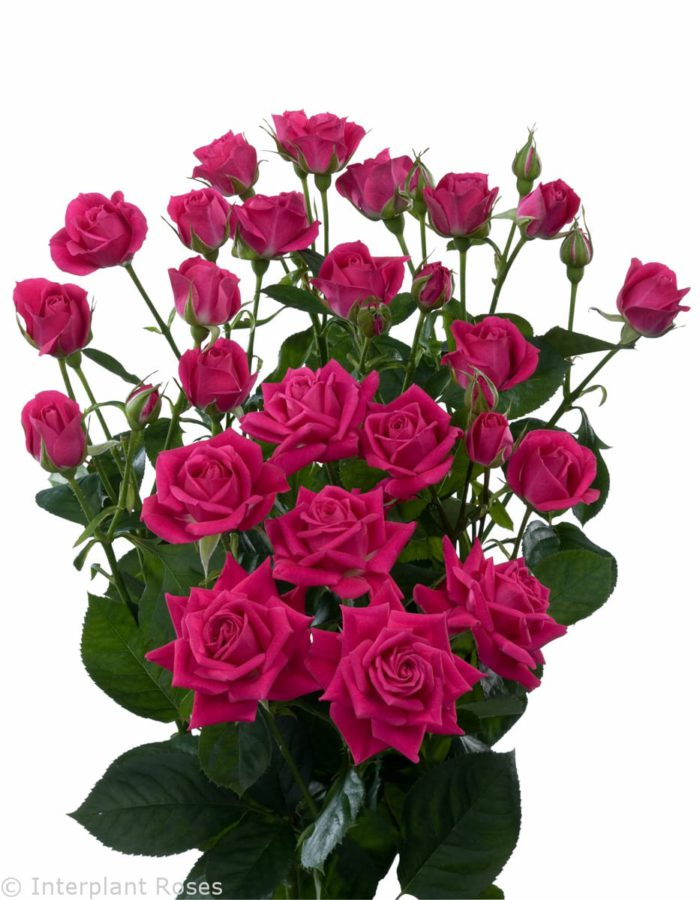 Spray Rose Dark Pink Wholesale Flowers