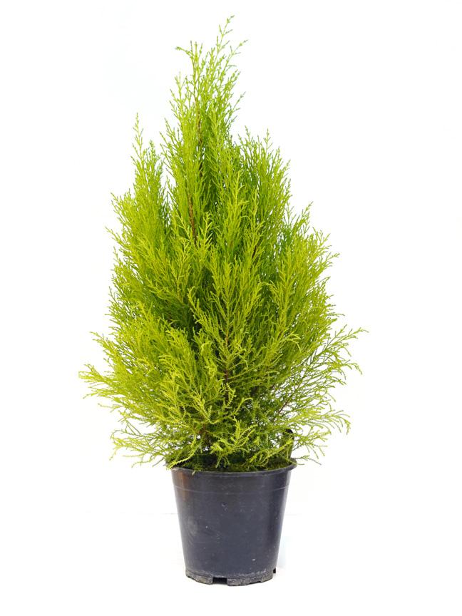 Cupressus Macrocarpa 'Indoor Plants'