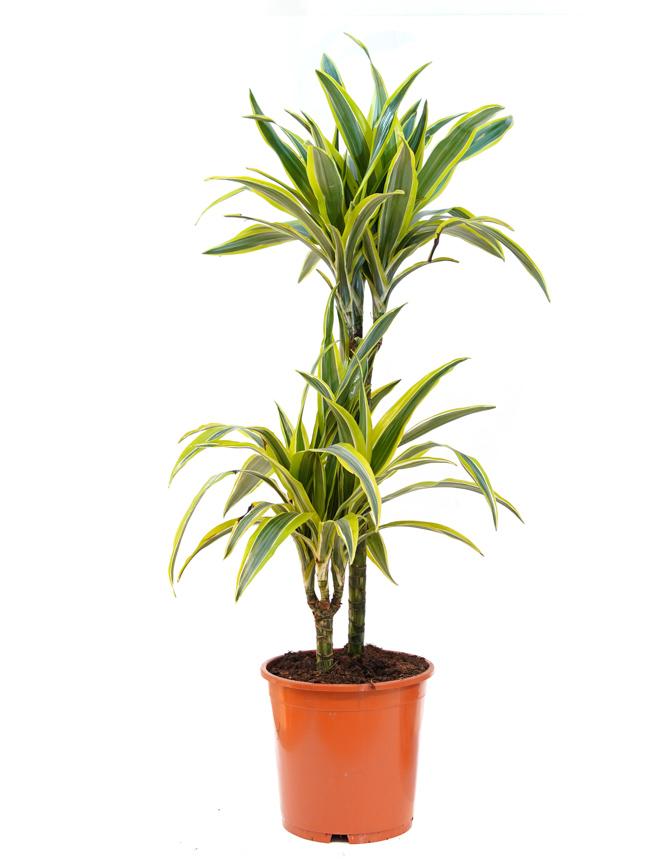 دراسينا ليمون لايم 'نباتات داخلية'
