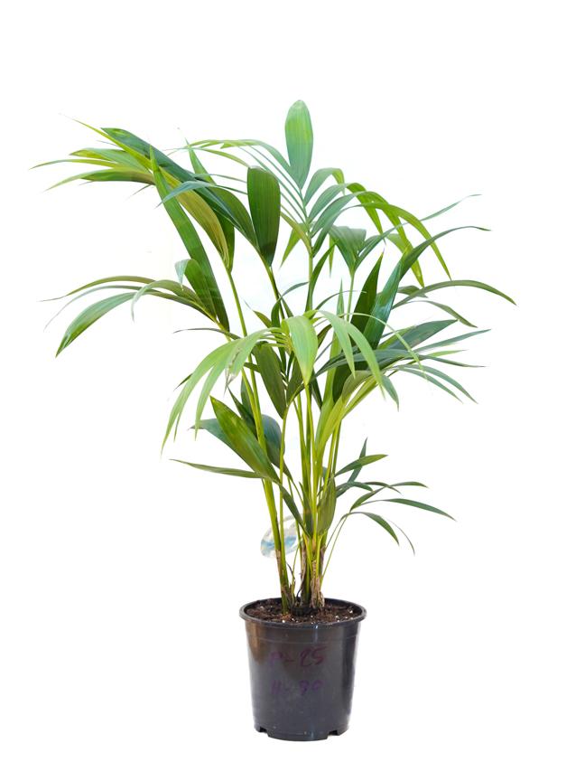 Kentia Indoor Plants