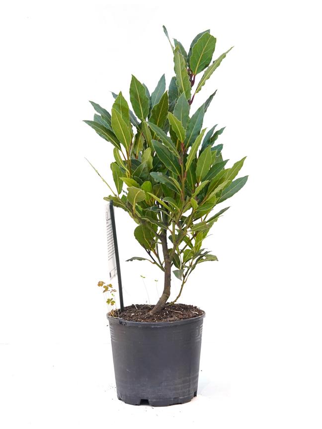 لوروس نوبيليس بوش 'نباتات داخلية'
