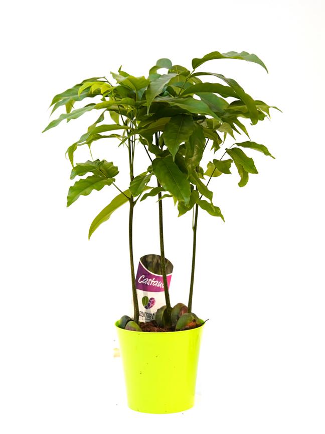 كاستنوسبيرمين نباتات داخلية
