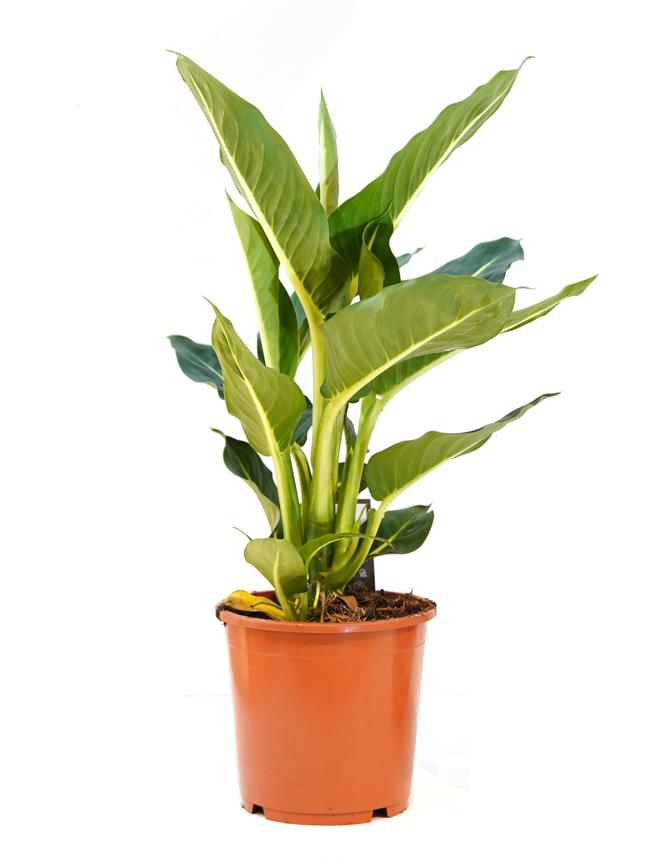 Dieffenbachia Oerstedii 'Indoor Plants'