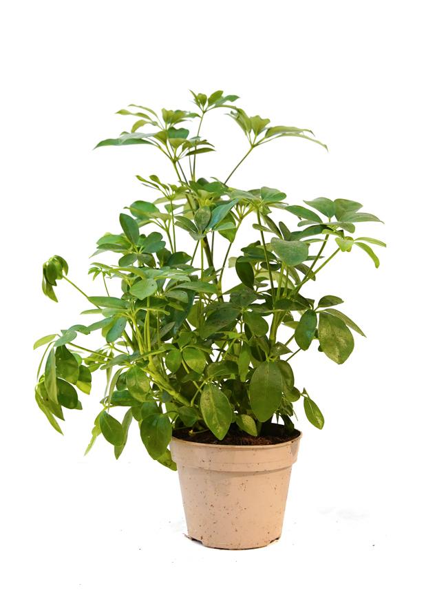 شيفليرا أربوريكولا خضراء 'نباتات داخلية'