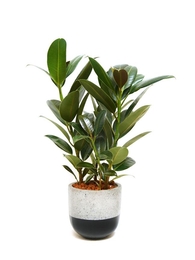 Ficus Robusta Rubber Fig Premium Collection
