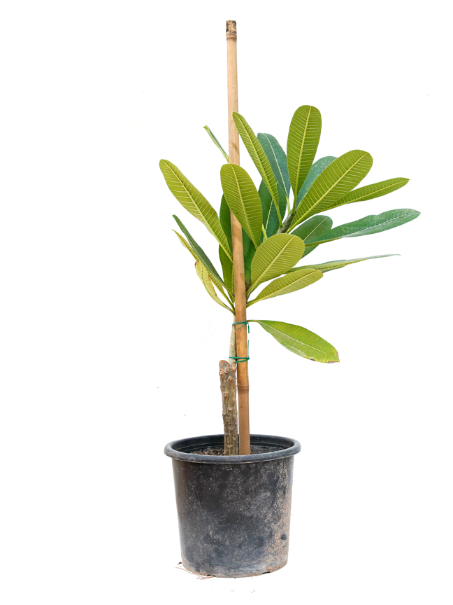 فتنة  -  بلوميريا أوبتوسا نباتات خارجية