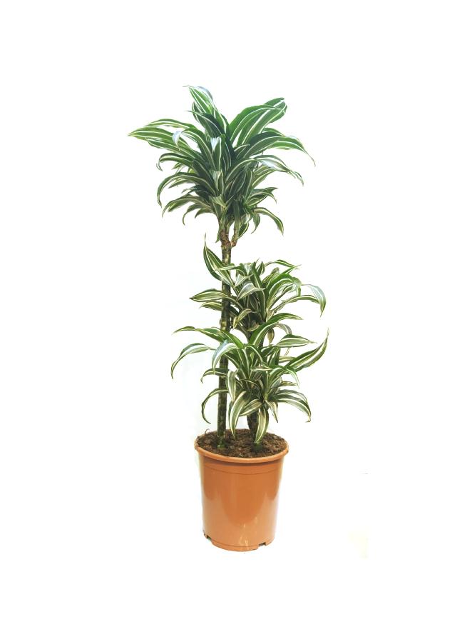 Dracaena Fr Jade Jewel 'Indoor Plants'