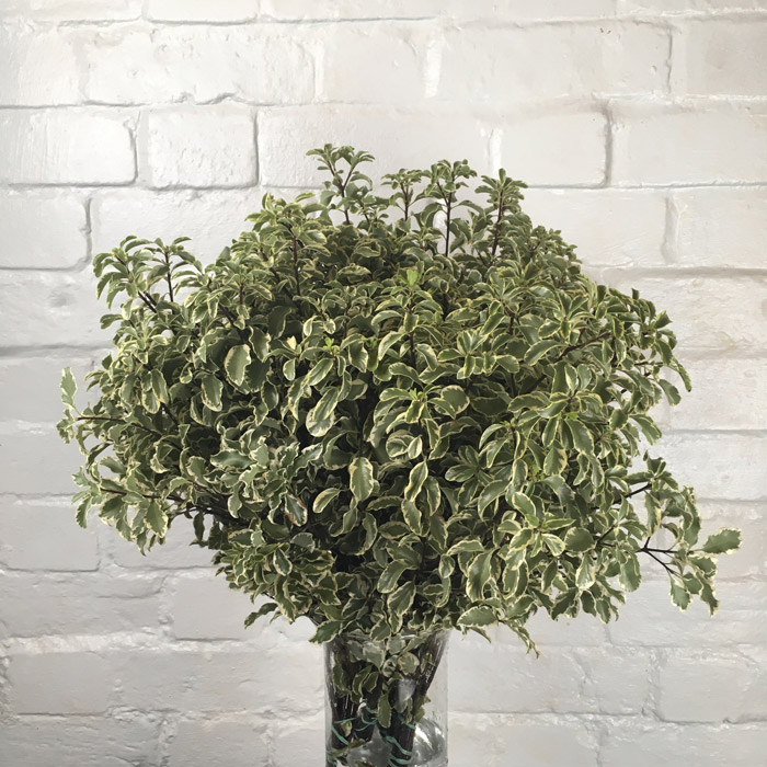 Pittosporum Variegated  Wholesale Flowers
