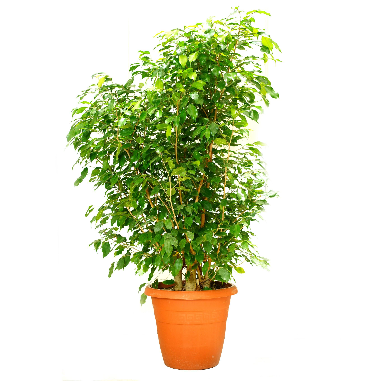 Ficus Binjamina Outdoor Plants