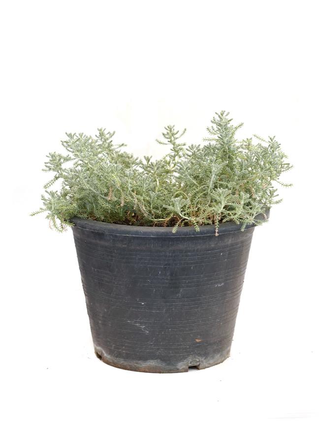شيح  نباتات خارجية