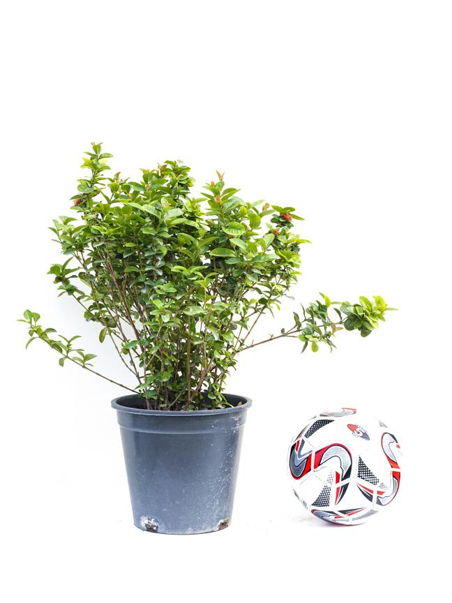 إيكسورا نباتات خارجية