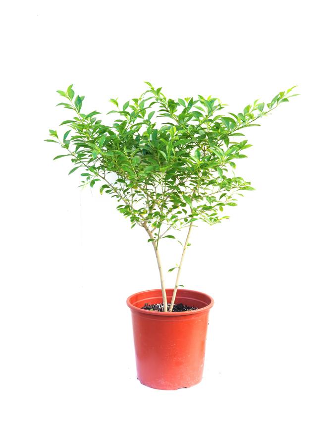 Duranta Outdoor Plants