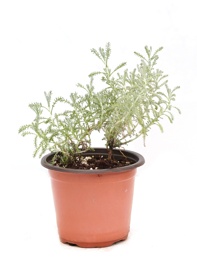 sheeh - Herbs Outdoor Plants