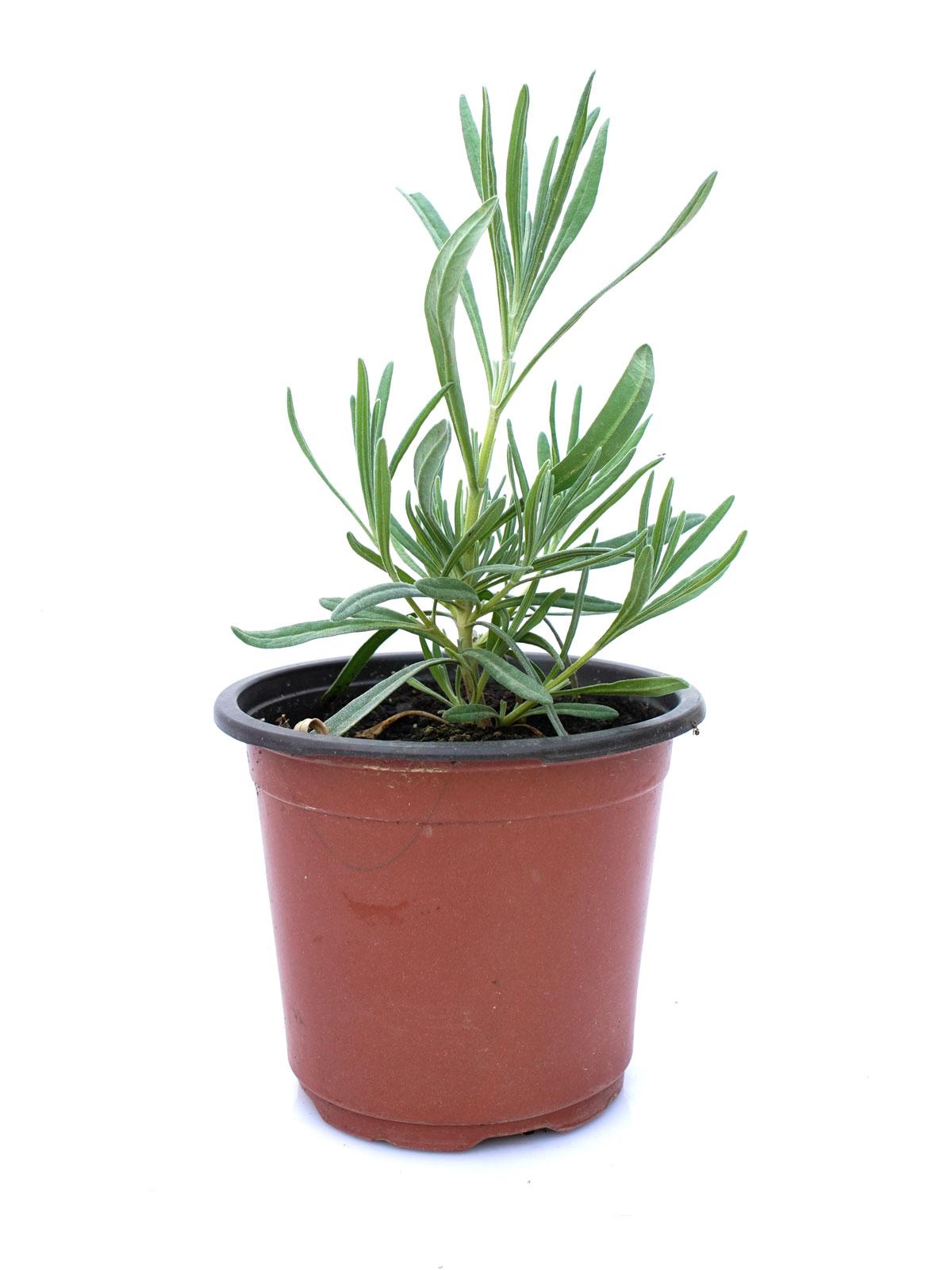 لافندار نباتات خارجية
